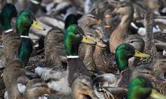 Mallards (hoppedscott) Tags: birding outdoors nature bc ladner reifel mallard duck anasplatyrhynchos