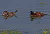 LAKDUCs 0817 (bryanjsmith62) Tags: lakeduck oxyuravittata ducksgeeseandwaterfowl anatidae