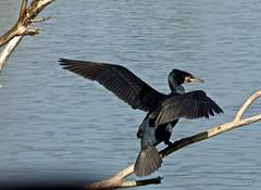 Showing Off (nannyjean35) Tags: cormorant lake brach