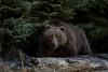 A January Surpise (wyrickodiak_9) Tags: kodiak brown bear boar grizzly alaska island back