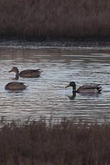 IMG_2670 (armadil) Tags: mavericks beach beaches californiabeaches bird birds mallard mallards duck ducks