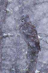 Cotton, Minnesota 1/14/2018 (Doug Lambert) Tags: owl greatgrayowl raptor snowfall winter nature wildlife bird saxzimbog stlouiscounty minnesota cotton