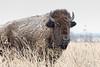 Wise old buff (Peeb-OK) Tags: buffalo bison wildoklahoma nature wildlife nikon snow prairie