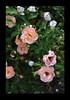 Duke Gardens July 2015 9.39.56 PM (LaPajamas) Tags: nc flora dukegardens gardens