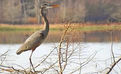 The Elegant Heron (Suzanham) Tags: lake bird branch cypress animal heron water pose elegant nature wildlife mississippi winter balance noxubeewildliferefuge greatblueheron