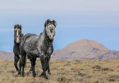 Dapple (chad.hanson) Tags: mustangs wildlife wildhorses wyoming