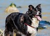 Sterre 16 (lizzaminelli) Tags: bordercollie animal pet dog dogs nikond3200 nikon sea beach waves outdoor kijkduin