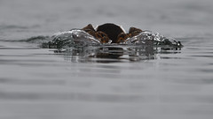DSC_9220_edit (Hanzy2012) Tags: nikon ontario canada toronto wildlife d500 afsnikkor500mmf4difedii bird duck longtailedduck clangulahyemalis