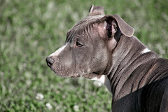 Bud (laurent KB) Tags: bud staff chien