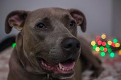 xmas_dog2 (DS_Mastery) Tags: dogs pitbull bluenose darkside dsmastery nikon d5100 sb700 christmas lights lightroom puppy photography