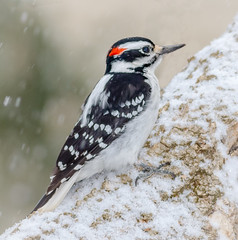 Hairy Woodpecker (tresed47) Tags: 2018 201802feb 20180204homebirds birds canon7d chestercounty content february folder hairywoodpecker home pennsylvania peterscamera petersphotos places season takenby us winter woodpecker