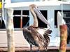 Pelican hangout (thomasgorman1) Tags: post bay beach pelican seabird nature outdoors mexico island caribbean caribe sea dock canon