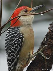 IMGP1367 (bram-sowers) Tags: redbelliedwoodpecker cardinal hairywoodpecker pentaxq pentaxqkadapter setting05 sigma500mmex45 february2018 richmondvirginia jamesriverpark