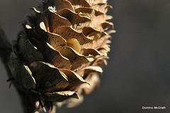Pine cone. (mcgrath.dominic) Tags: pinecone fotaarboretum cocork