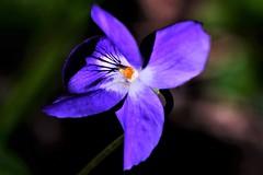 Violeta (ameliapardo) Tags: violetas flores macrodeflores floresyplantas jardines airelibre naturaleza fujixt1 sevilla españa andalucia