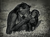Benobo chimpanzee (codeye) Tags: faved