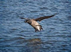 Brant (Goggla) Tags: nyc new york manhattan east river park stuyvesant cove urban wildlife bird brant goose stuyvesantcove