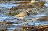 Ringed plover / Sandlóa (Charadrius hiaticula) (thorrisig) Tags: 06092017 charadriushiaticula dýr fuglar grótta ringedplover sandlóa vaðfugl animals sigurgeirsson sigurgeirssonþorfinnur dorres iceland ísland island icelandicbirds íslenskirfuglar thorrisig thorfinnursigurgeirsson þorrisig thorri thorfinnur þorfinnur þorri þorfinnursigurgeirsson waterbird wadingbird shorebird