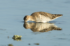 # Ruff............... (Prem K Dev) Tags: reflection ruff beautiful bird black dark wader wildlife wonderful nature avian lovely light golden sholinganallur sml subcontinent india chennai colourful