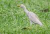 CLOSE UP AIRONE    ----    HERON (Ezio Donati is ) Tags: uccelli birds animali animals natura nature foresta forest erba grass fiori flowers africa costadavorio areabigerville