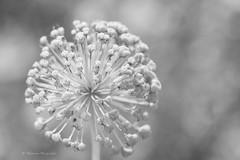 (Monica Muzzioli) Tags: macro garden bw monochrome blackandwhite highkey bokeh dof nature coth5 sundaylights