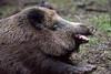 Sleepy Boar (ch.gunkel) Tags: deutschland fauna germany schönbuch tier tierwelt wildgehege wilschwein animal boar forest hog nature wildboar