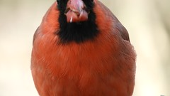 Cardinal eating (NaturewithMar) Tags: northern cardinal male bird video 7dwf free theme monday seed wisconsin winter macro