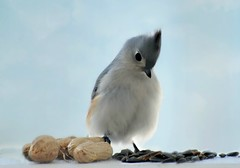 ~Decisions...decisions...peanuts or seeds...Hmm.~ (nushuz) Tags: myporchrailing decisionspeanutsorseeds adorable nature myyard vermont snow tuftedtitmouse