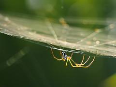 Spider / Araignée (FotoAmatrix) Tags: araignée spider web toile