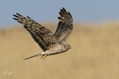 _FN58866-2 (Polpi68) Tags: falcon falco albanella