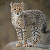 Little Firecracker (Penny Hyde) Tags: babyanimal bigcat cheetah cheetahcub cub sandiegozoo