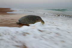 Green sea turtle (Zahoor-Salmi) Tags: zahoorsalmi salmi wildlife pakistan wwf nature natural canon birds watch animals bbc flickr google discovery chanals tv lens camera 7d mark 2 beutty photo macro action walpapers bhalwal punjab