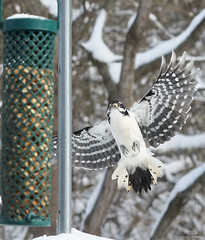HWIMG_4998-1 (Wildlife Paparazzi) Tags: hairywoodpecker inflight