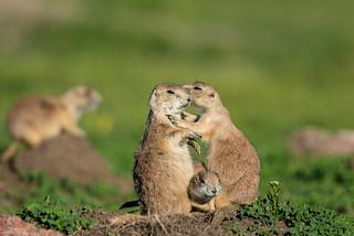 1606_2109 Prairie Dog Kiss