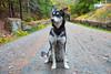 Carriage Roads at Acadia (rohithpalagiri) Tags: husky acadia fall