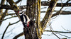 Spotted woodpecker (Lt_Dan) Tags: spottedwoodpecker bird nature natureshot natura canon600d canon400f56lusm wildlife animal alpago belluno veneto italia italy