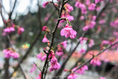 山櫻花 / Taiwan Cherry (kao19930917) Tags: 櫻花 sakura taiwancherry hsinchu taiwan neiwan 新竹 台灣 內灣 橫山鄉 lx10 panasonic 山櫻花
