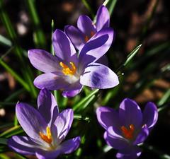 DSC_8799 Crocus (PeaTJay) Tags: nikond750 sigma reading lowerearley berkshire macro micro closeups gardens outdoors nature flora fauna plants flowers crocus