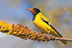 Black-headed Oriole (aivar.mikko) Tags: blackheadedoriole orioluslarvatus blackheaded oriole oriolus larvatus black headed southafrica krugernationalpark kruger national park wildlife birds bird africanwildlife southafrican south africa african passerine