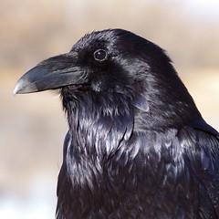 Common Raven (Corvus corax).  Bosque del Apache National Wildlife Refuge.  New Mexico, USA. (cbrozek21) Tags: raven commonraven corvuscorax portrait bird black blackbird nature bosquedelapache animal