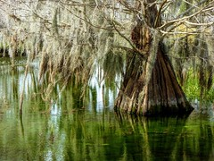 """I think that I shall never see a poem lovely as a tree.""—Joyce Kilmer (Ferb's Pics) Tags: green emerald water spanish moss pine bark trunk branches twigs"