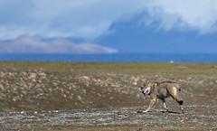 Gray Wolf, Tibet 2017 (reurinkjan) Tags: tibetབོད བོད་ལྗོངས། 2017 ༢༠༡༧་ ©janreurink tibetanplateauབོད་མཐོ་སྒང་bötogang tibetautonomousregion tar damzhungའདམ་གཞུང་།county wolf canislupus graywolf spyangki changkiསྤྱང་ཀི་ tibetanwildlife namtsoགནམ་མཚོ། namtsochimo namtsochukmo lakenam heavenlylake rodentརི་བོང་དང་སྲེ་མོང་གི་རིགས་ལའང་ཟེར་ribongdangsremonggirigslaangzer wildanimalsརི་སྐྱེས་སྲོག་ཆགསrikyésokchak tibetanplateaumammalsམཐོ་སྒང་གི་གི་གི་འོ་འཐུང་སྲོག་ཆགས་mthosganggigiothungsrogchags