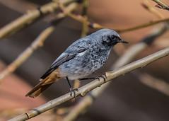 Black Redstart ( Phoenicurus ochruros ) Male (Dale Ayres) Tags: black redstart phoenicurus ochruros male bird nature wildlife