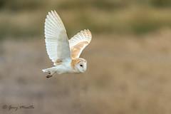 Barn Owl - Tyto alba (Liquidparadox) Tags: canon 500mm uptonwarren worcestershire barnowl tytoalba 1dx2