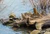Drift Wood Stump. (Omygodtom) Tags: scene scenic senery wood river fence decay water stump outdoors outside nikon70300mmvrlens dof d7100 art abstract danger weather