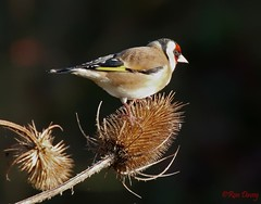 Goldfinch. Image 3. (ronalddavey80) Tags: goldfinch canon wildlife eos70d tamron 70300mm