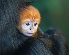 francoislangur Blijdorp BB2A8829 (j.a.kok) Tags: langoer langur francoislangoer francoislangur animal aap blijdorp mammal monkey asia azie zoogdier dier