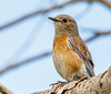 Western Bluebird (dlveliz) Tags: westernbluebird wildlife nature animals
