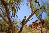 Finke Gorge National Park (Travolution360) Tags: australia finke gorge national park hiking trails nature cockatoo bird outback travel northern territory