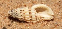 Rock snail (Maculotriton serriale) under side (shadowshador) Tags: rock snail maculotriton serriale neomura eukaryota opisthokonta holozoa filozoa animalia lophotrochozoa mollusca conchifera gastropoda gastropod gastropods orthogastropoda orthogastropod orthogastropods neogastropoda neogastropod neogastropods muricoidea muricidae ergalataxinae conchology malacology invertebrate invertebrates taxonomy scientific classification biology sea snails shell shells sand sandy beach wildlife life